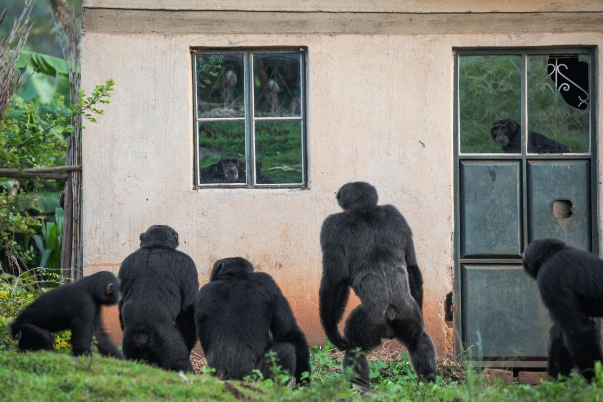 Around some villages in western Uganda, small groups of chimpanzees must survive in remnant strips and ...