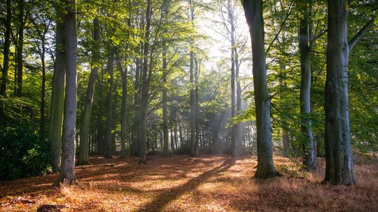 The sun shining through the Sherwood Forest canopy inNottinghamshire, where a network of trailsrunthrough the ancient ...