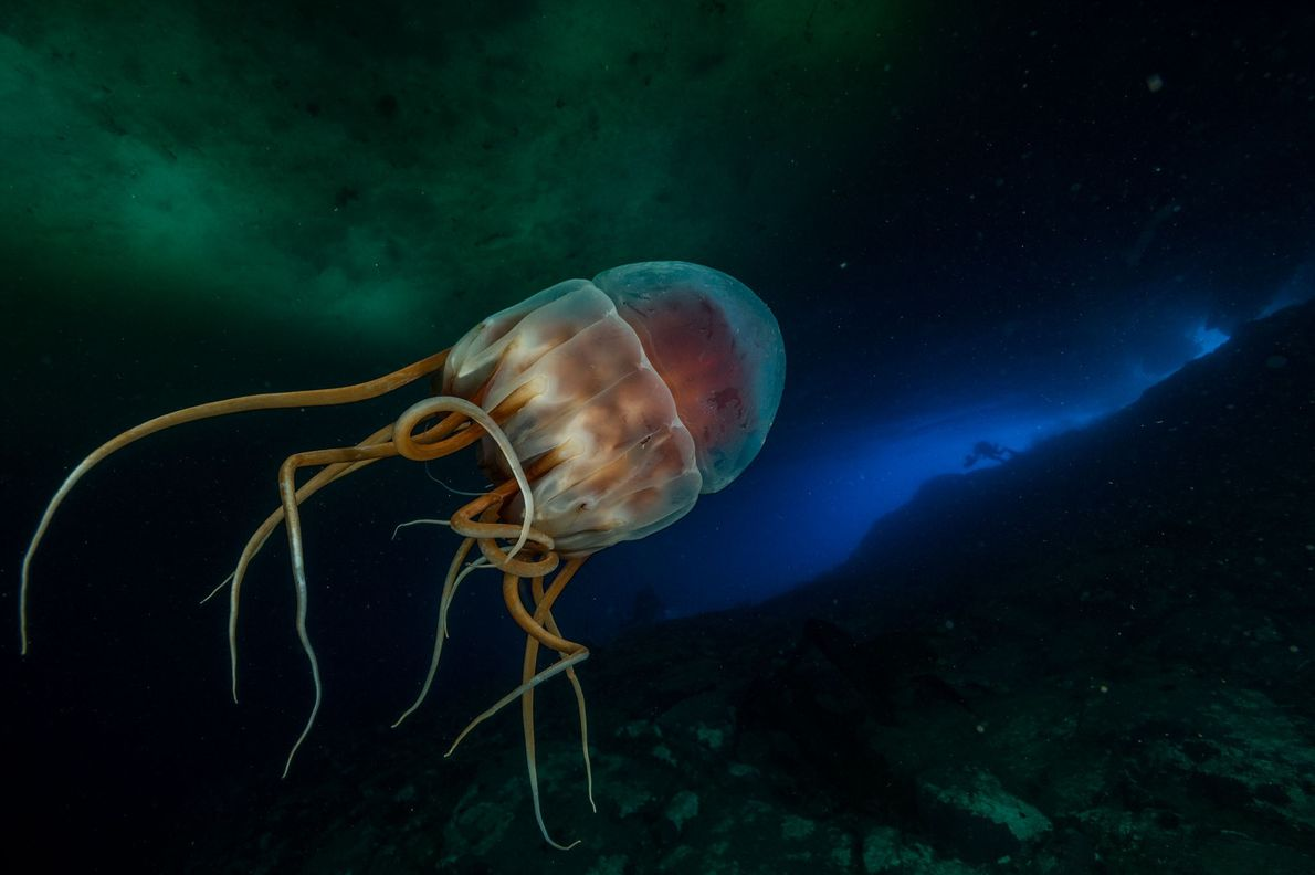 A bioluminescent crown jellyfish, some 35cm wide, floats by at 40 metres deep, glowing and trailing ...