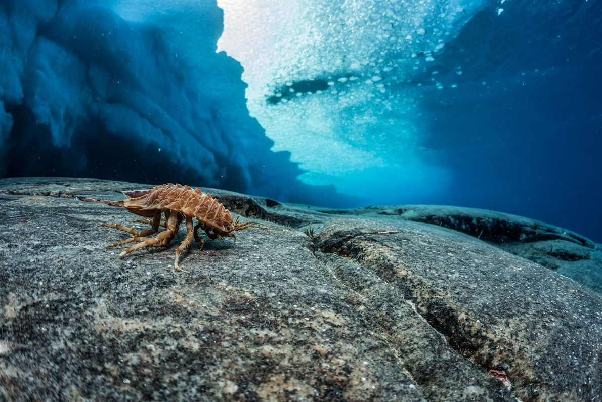 An isopod looks like a pill bug—and rolls up when threatened— but is nearly 10cm long. ...