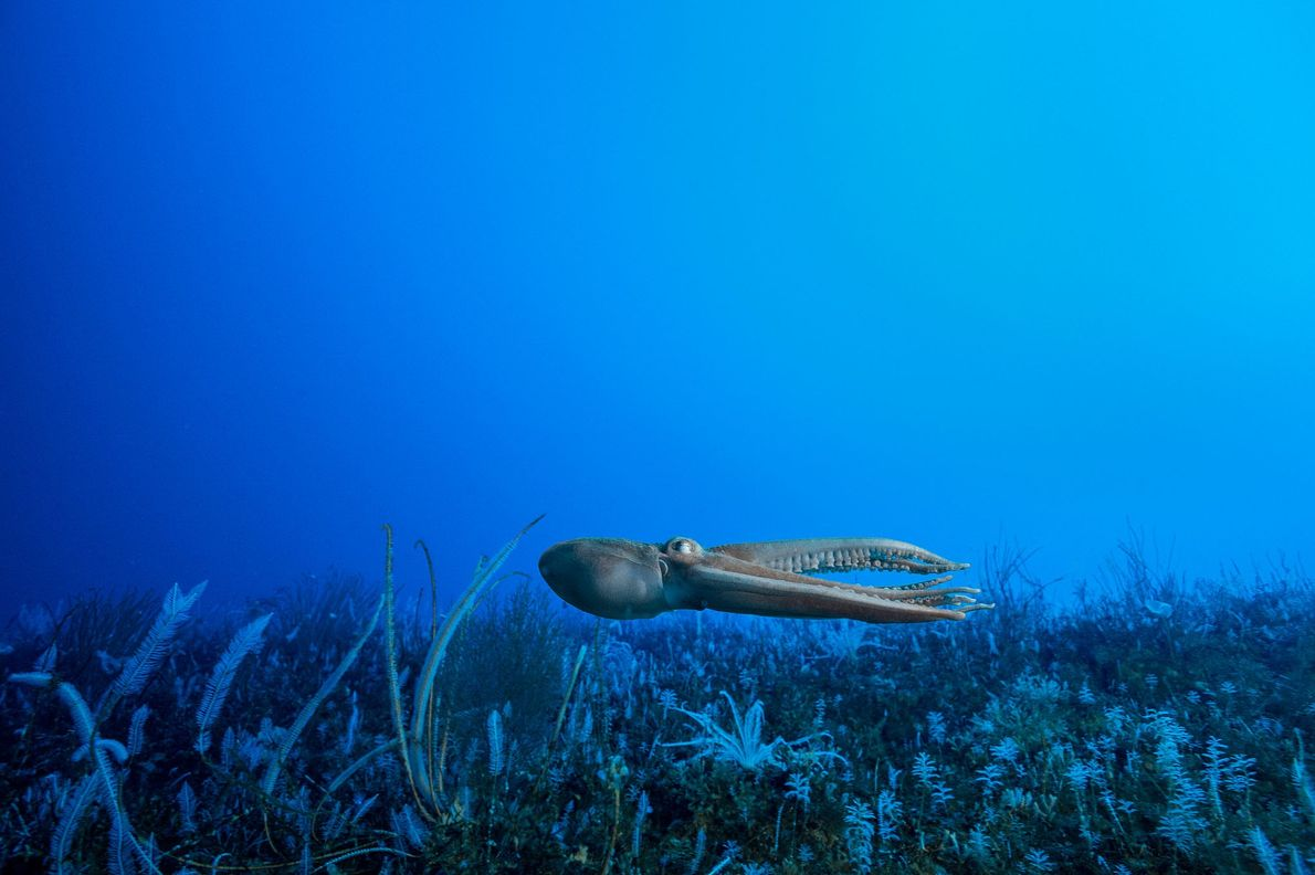 An octopus jets above a seabed packed with life. Antarctica has at least 16 species of ...