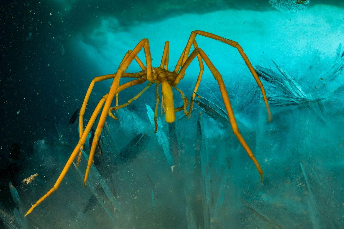 Sea spiders are another example of mysterious 'polar gigantism'; they're tiny in other places, but this ...