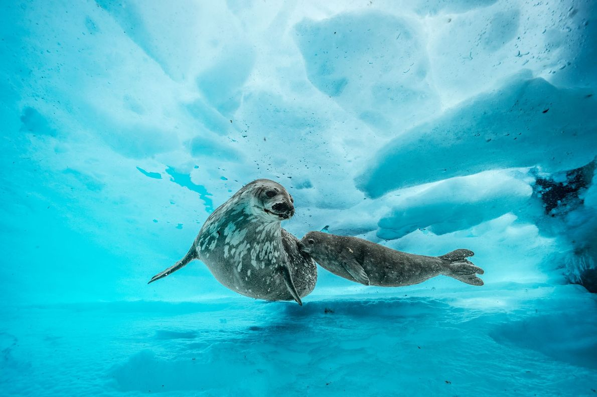 A Weddell seal accompanies her pup on a swim beneath the ice. When the juvenile is ...