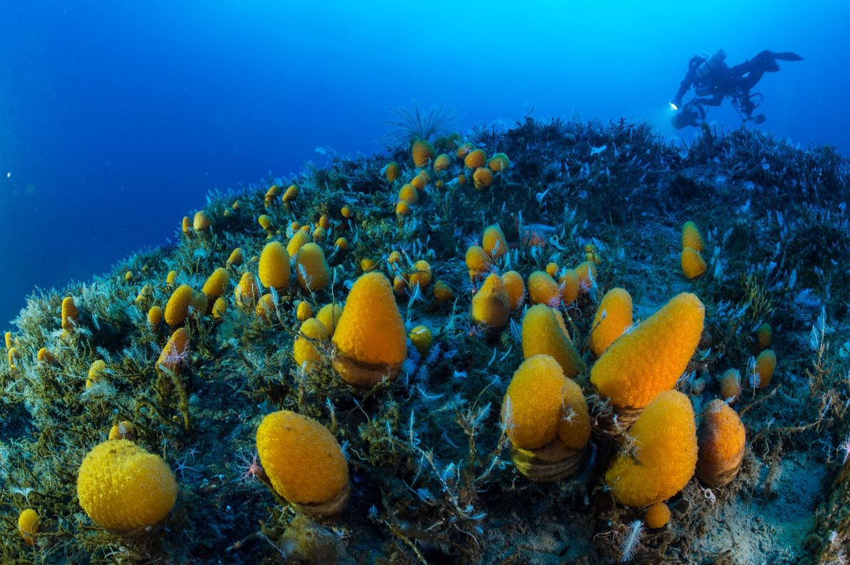 Tethered to the seafloor more than 65 metres down, syphoning in water to collect food, orange ...