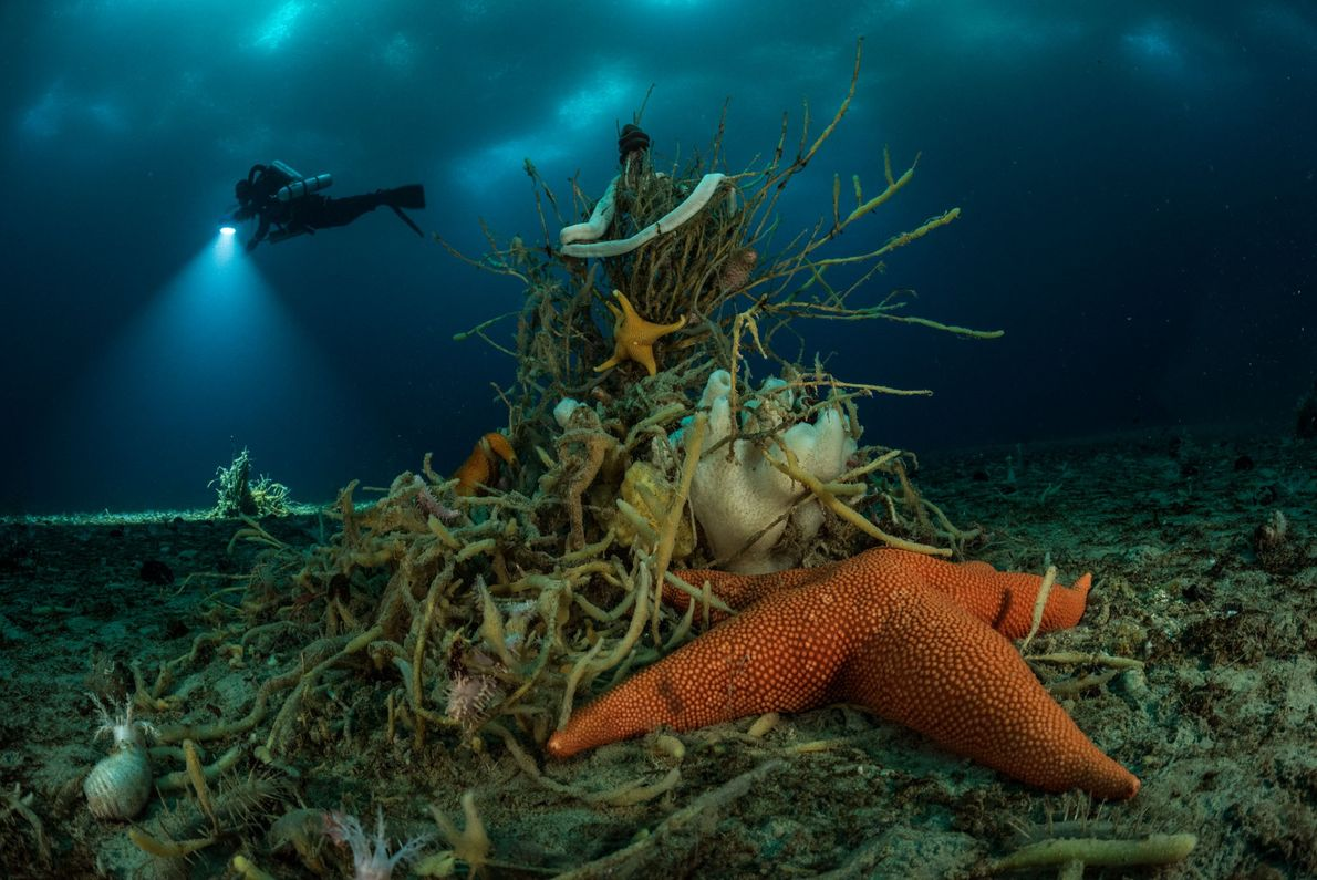The sea star nestled up to a worm-ridden, treelike sponge? It's more than 30cm across. Macroptychaster ...