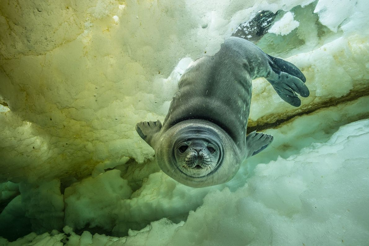 A curious young Weddell seal, weeks old, comes in for a close-up. It may have been ...