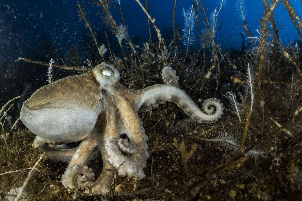 One of Antarctica's 16 species of octopus sits on the bottom. All Antarctic octopuses have a ...