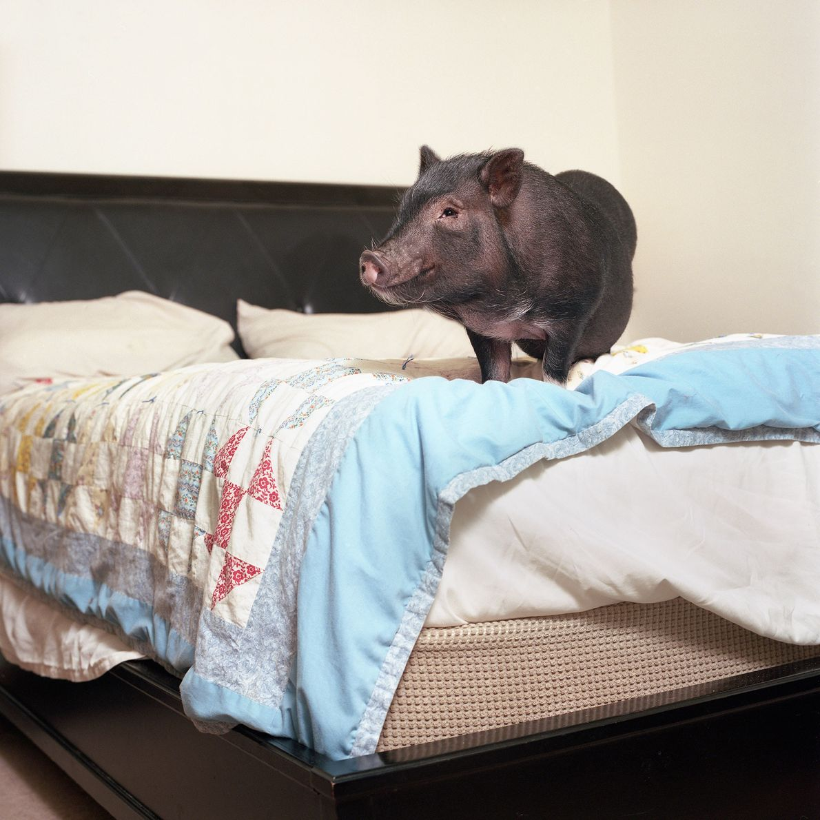 """Dozer the potbellied pig acts """"very much like a dog, following commands and showing affection toward ..."""