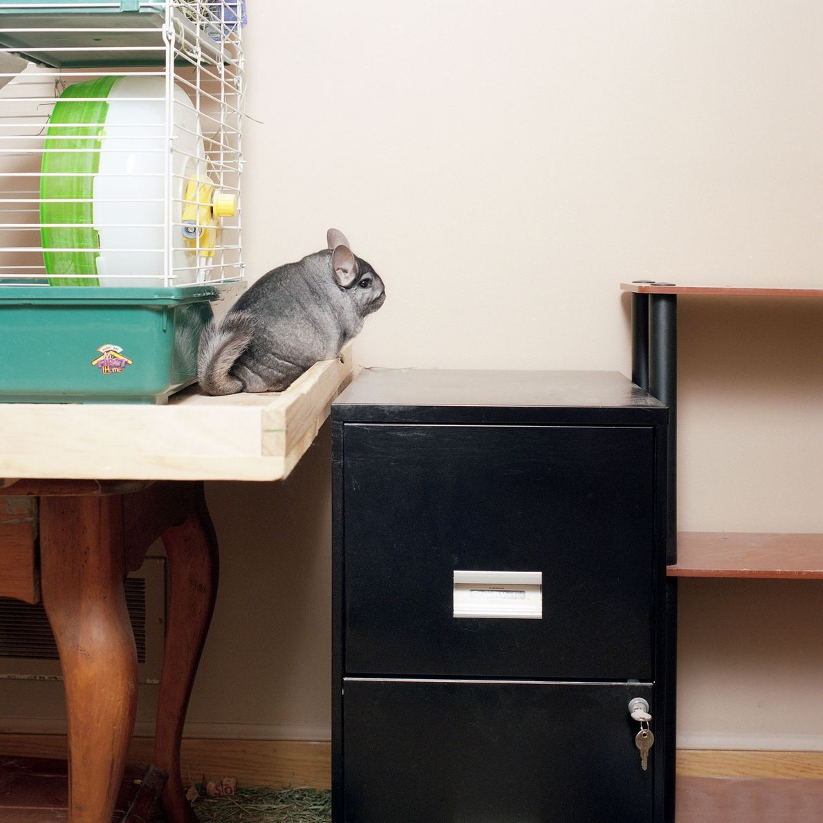 """Felix the chinchilla poses in a rare moment of stillness. """"He was so quick, it was ..."""