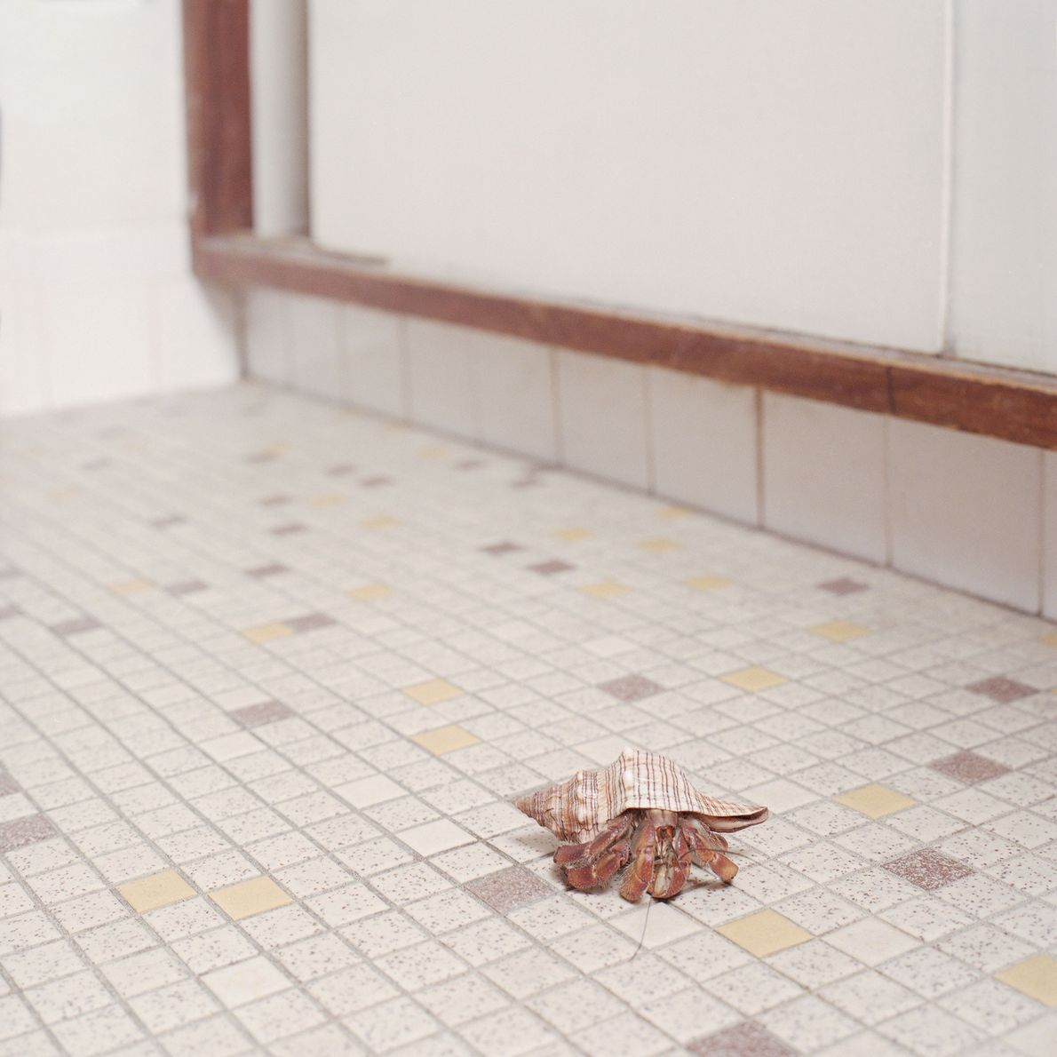 An unnamed hermit crab makes its way across a tile floor. The crustaceans can live up ...