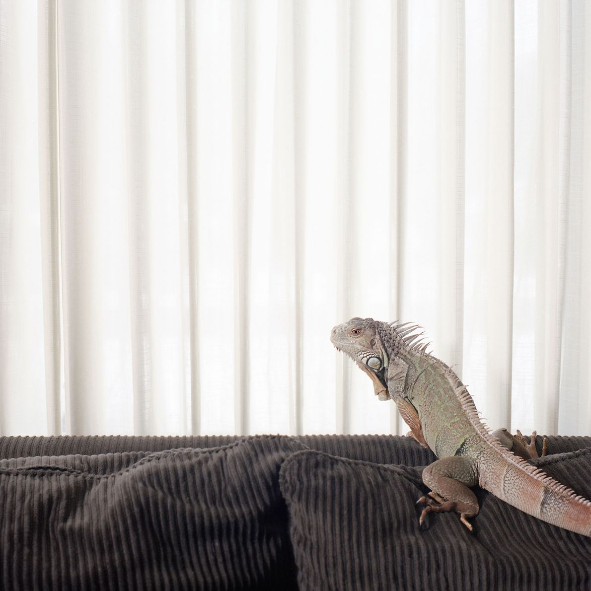 An iguana named Jade climbs the household couch. Iguanas are tropical lizards native to the Americas ...