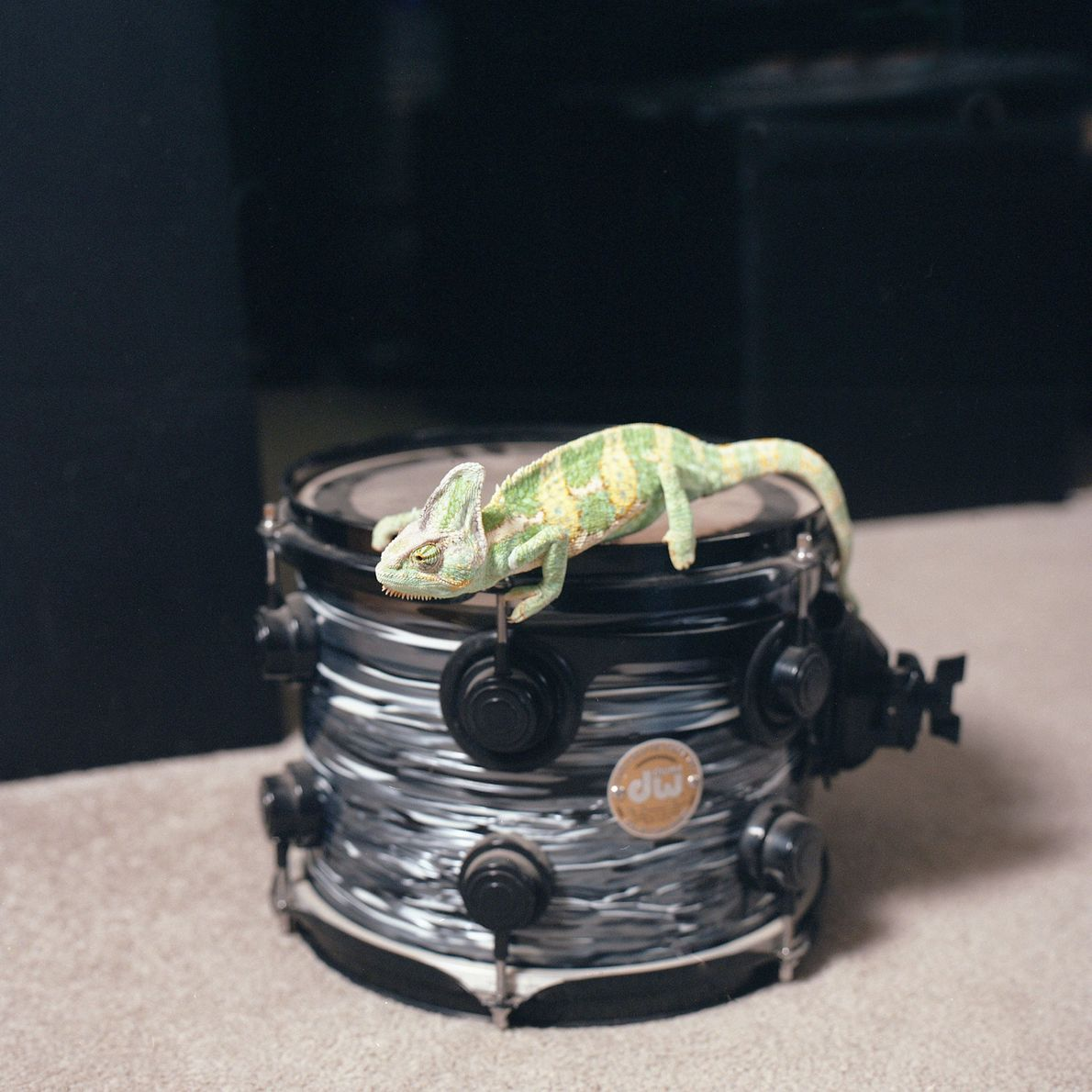 """Marvin the chameleon's owner is a drummer, """"so we chose to place Marvin on one of ..."""