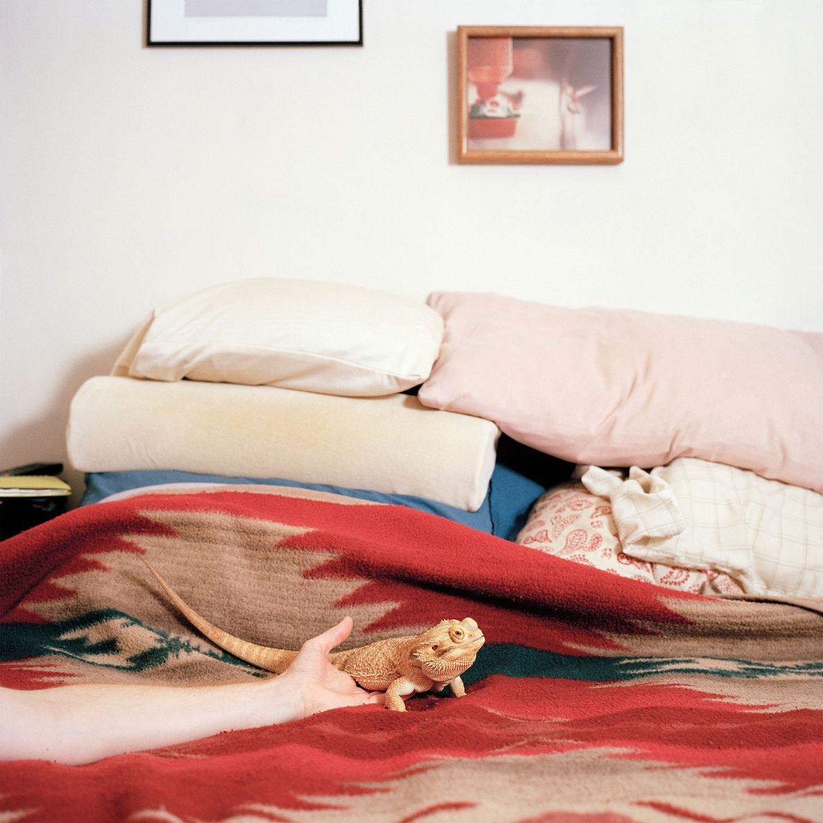 A bearded dragon named Tumnus—named after a character in the Chronicles of Narnia—rests on a bed. ...