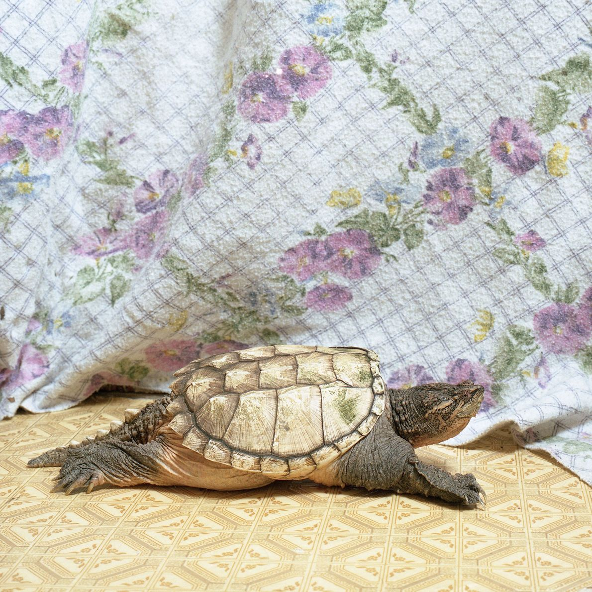 """Turdell the snapping turtle lives in a large tank with a swimming area, """"but we placed ..."""