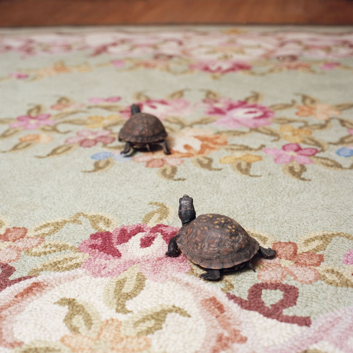 These unnamed eastern box turtles live in outdoor enclosures in the summer, and in tanks during ...