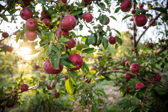 At Etta Place Cidery, near Capitol Reef National Park, historic heirloom orchards date back to the settling ...