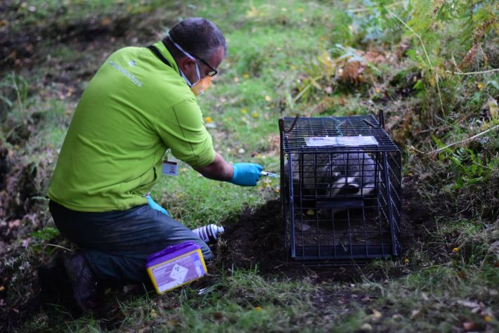A badger is vaccinated against TB. Local conservation groups have been vaccinating badgers since 2015 with a ...