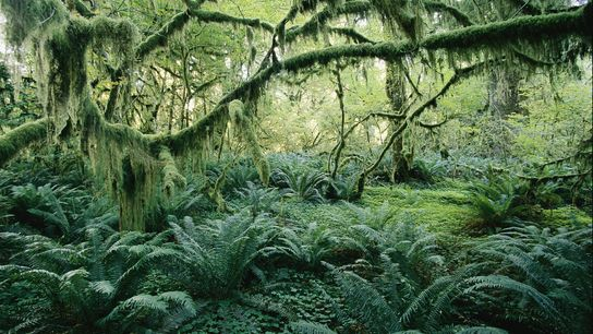 Lush vegetation in an old growth forest creates a fairy-tale scene on Vancouver Island.