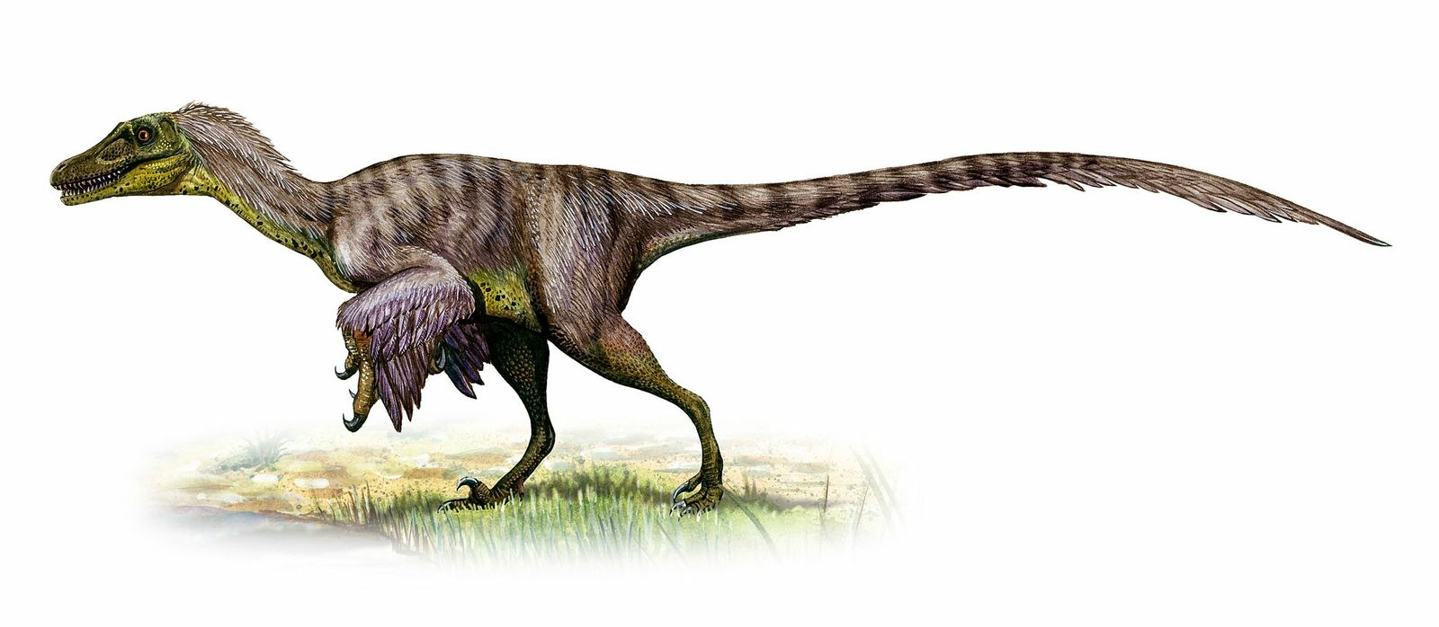 Weighing up to 100 pounds—about the size of a wolf—Velociraptors likely hunted solo as they roamed ...