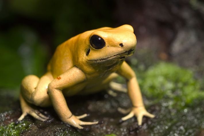Golden poison dart frogs get their toxins from eating tiny beetles.
