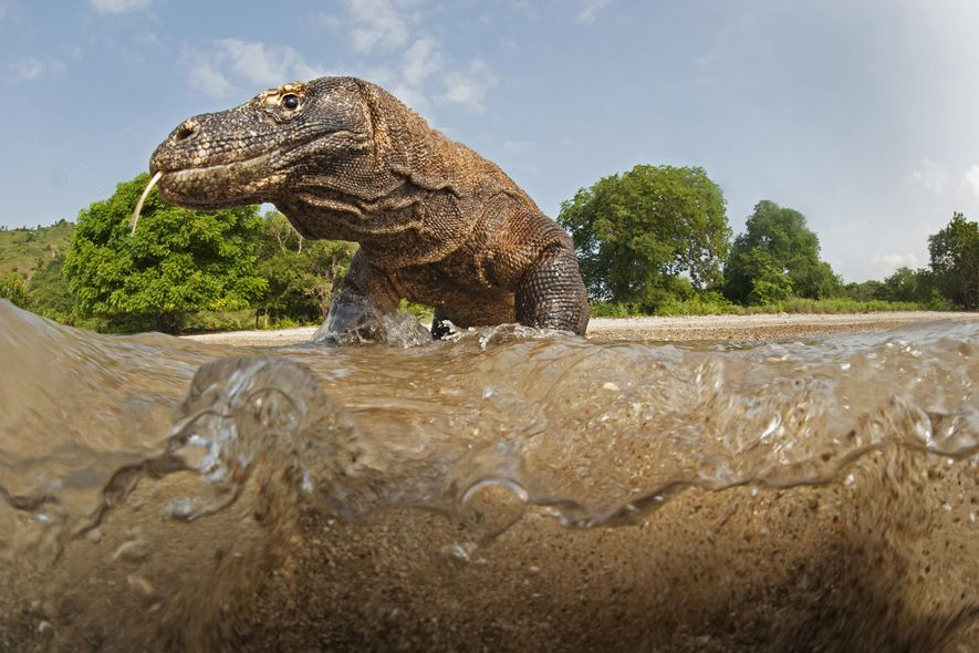 After biting a victim, Komodo dragons can follow it for miles as the venom takes effect, ...