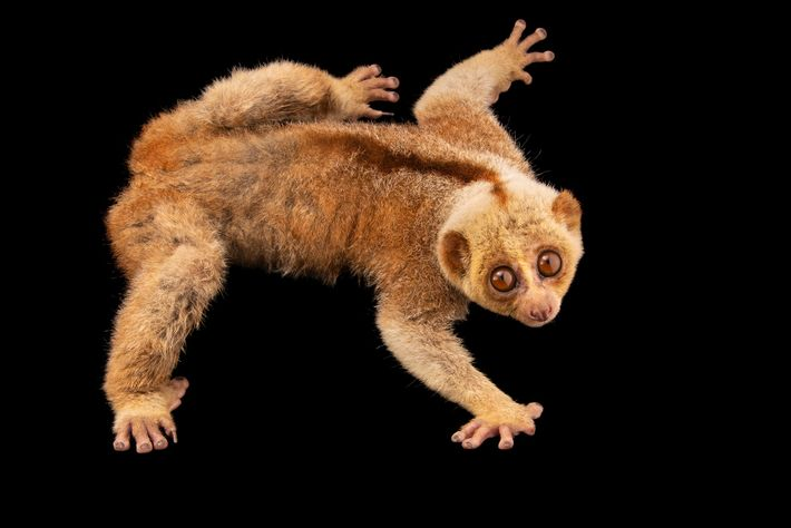 Slow lorises (such as this Bengal slow loris, pictured at the Angkor Centre for Conservation of ...