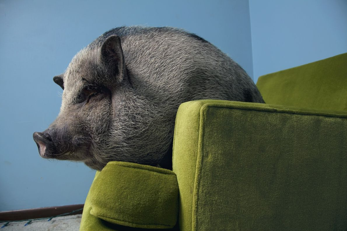 Vietnamese potbellied pigs are, like all pigs, highly social. Studies show that they use deception to ...