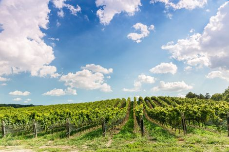 A vineyard in Ontario's Wine Country.