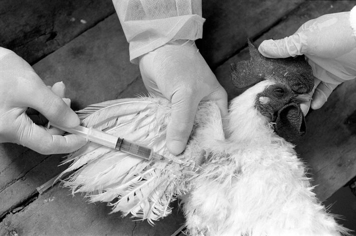 Inspectors take a blood sample from a chicken to test for avian flu in Can Tho, ...