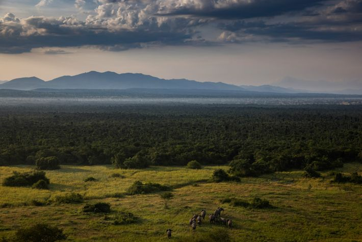 The return of so many elephants to Virunga has cheered rangers in an otherwise gloomy year. ...