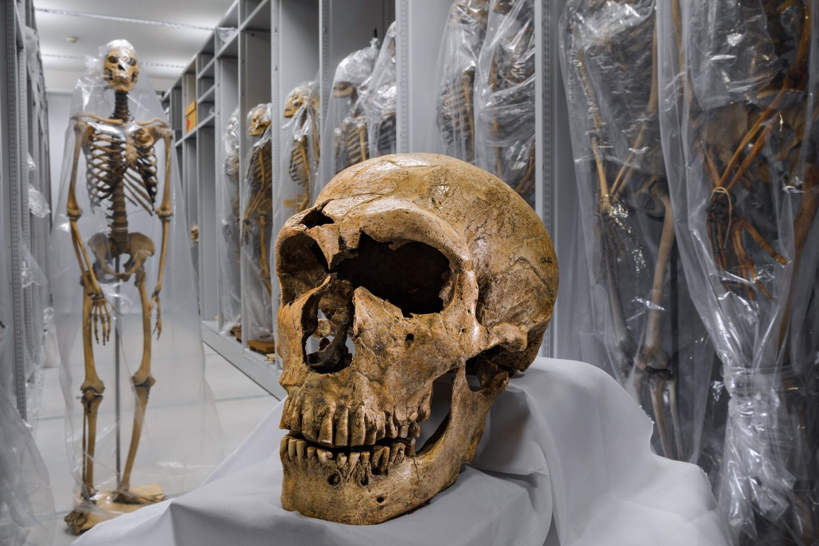 A Neanderthal skull, one of the most complete yet found, rests near human skeletons in the ...