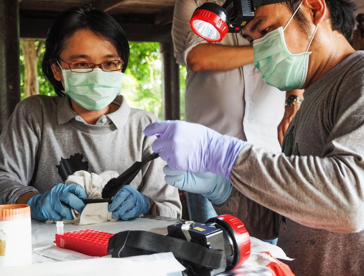 Supaporn Wacharapluesadee, a virus expert, and her team prepare to take blood samples from fruit bats. ...