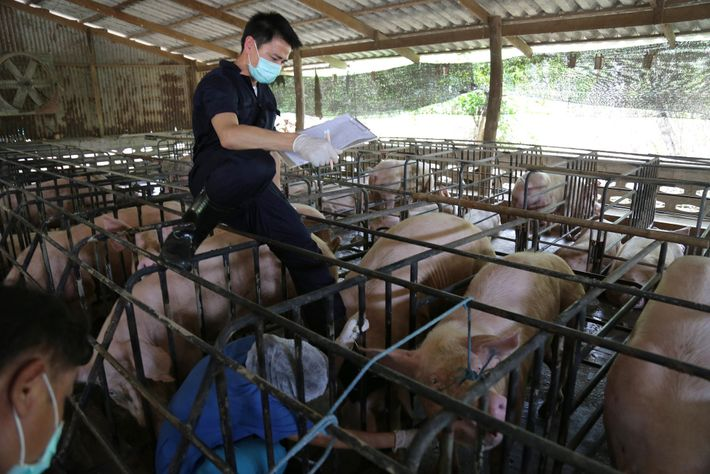 Researchers also tested pigs at farms located near the bat colony. Such surveillance can detect viruses ...