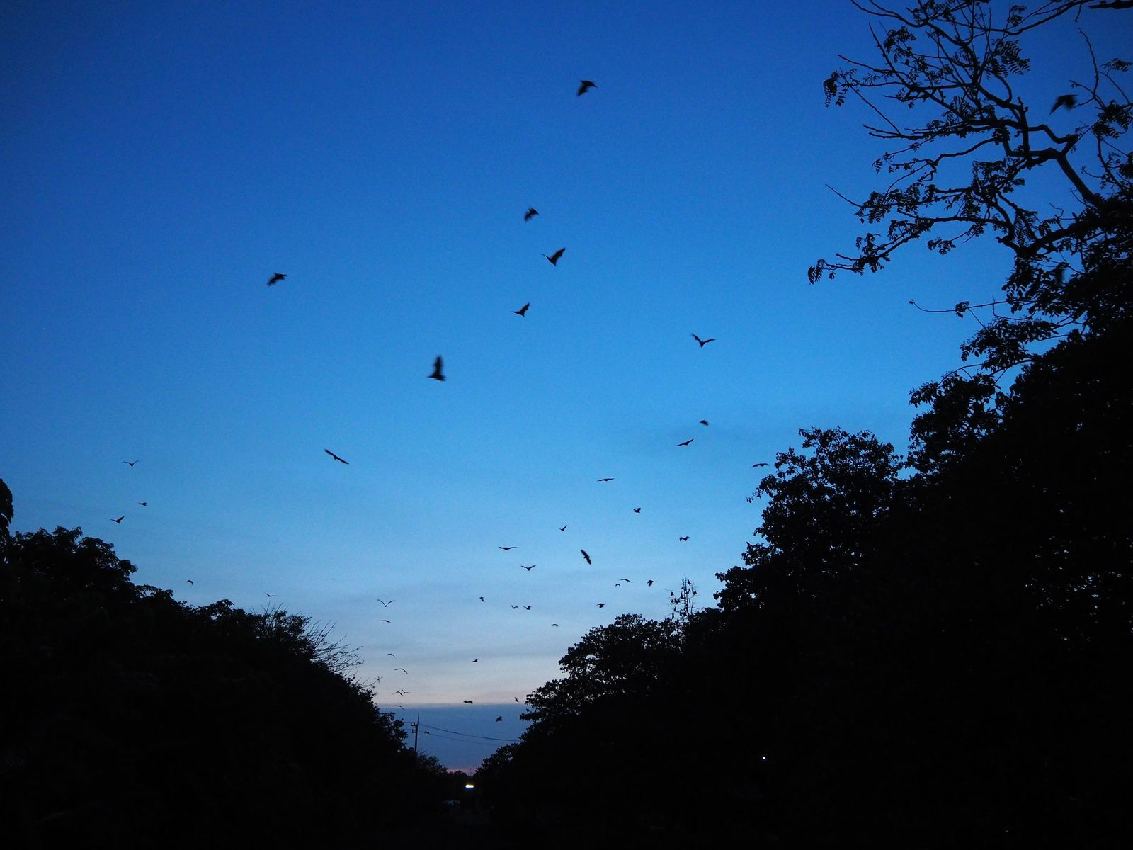 Thousands of fruit bats fly at dusk to feed off the fruit trees in the nearby ...
