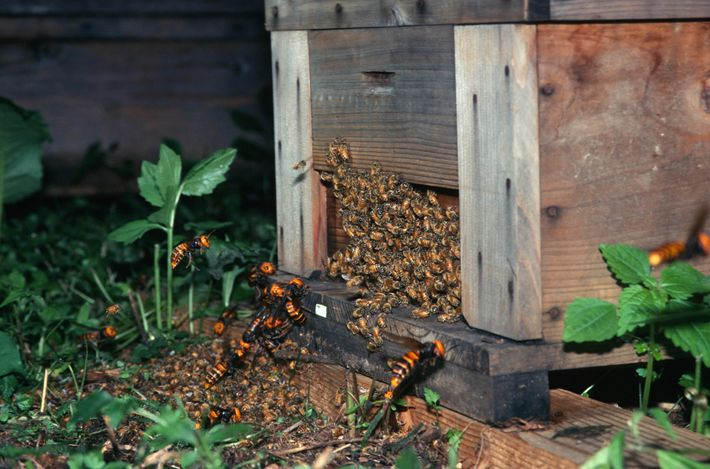 Asian giant hornets (Vespa mandarinia) attacking honeybees in Japan. New research shows that these hornets' closest ...