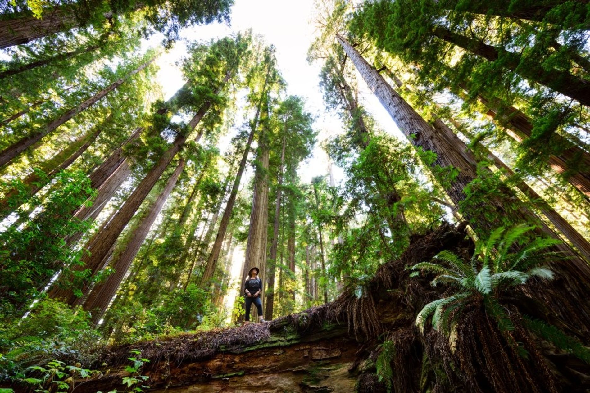 The Cheatham Grove of ancient redwood trees near Crescent City, California, which were used as the ...