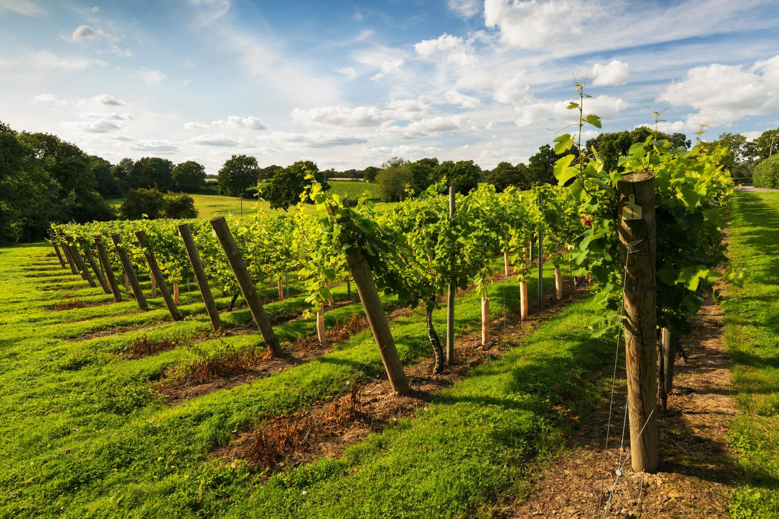 A vineyard in the Kent countryside. Despite vineyards now being widespread across England and Wales and numbering ...