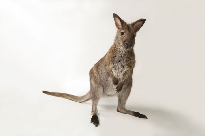 A red-necked wallaby, 'Macropus rufogriseus', photographed at Lincoln Children's Zoo in Nebraska.