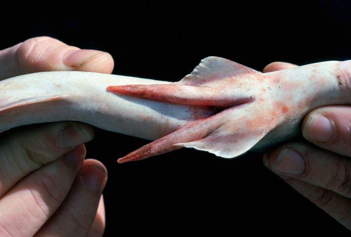 A scientist displays the clasper, or penis-like organ, of a bigeye houndshark (Iago omanensis).
