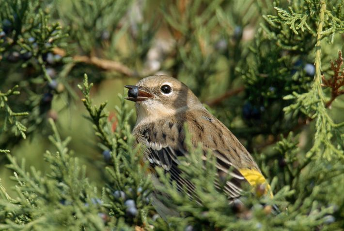 Migratory birds like this yellow-rumped warbler may not always be able to make up for setbacks ...