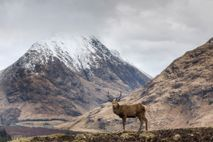 A red stag in Glen Etive, south of Glencoe, with snow-capped mountains in the background.