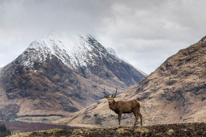 A red stag in Glen Etive, south of Glencoe, with snow-capped mountains inthebackground.