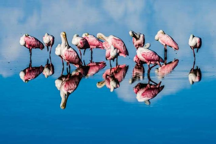 Bold blues and pinks from roseate spoonbills on Fort Myers Beach. Image: Getty
