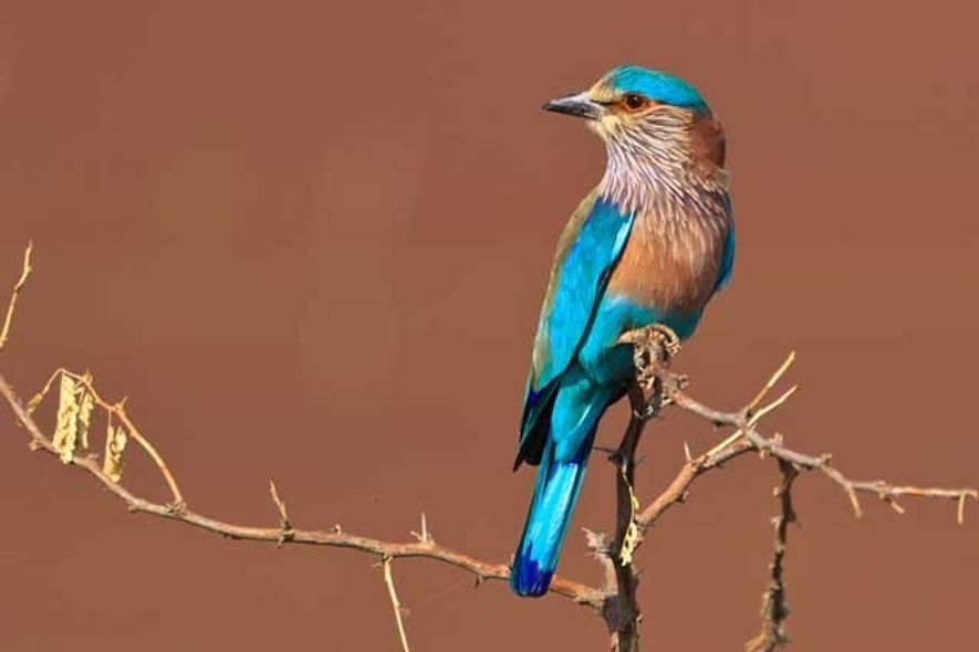 India: Searching for the Indian roller bird