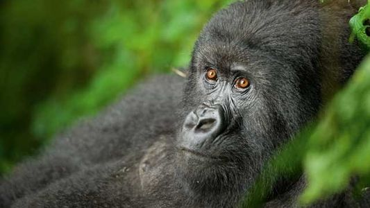 Meeting the mountain gorillas of Rwanda