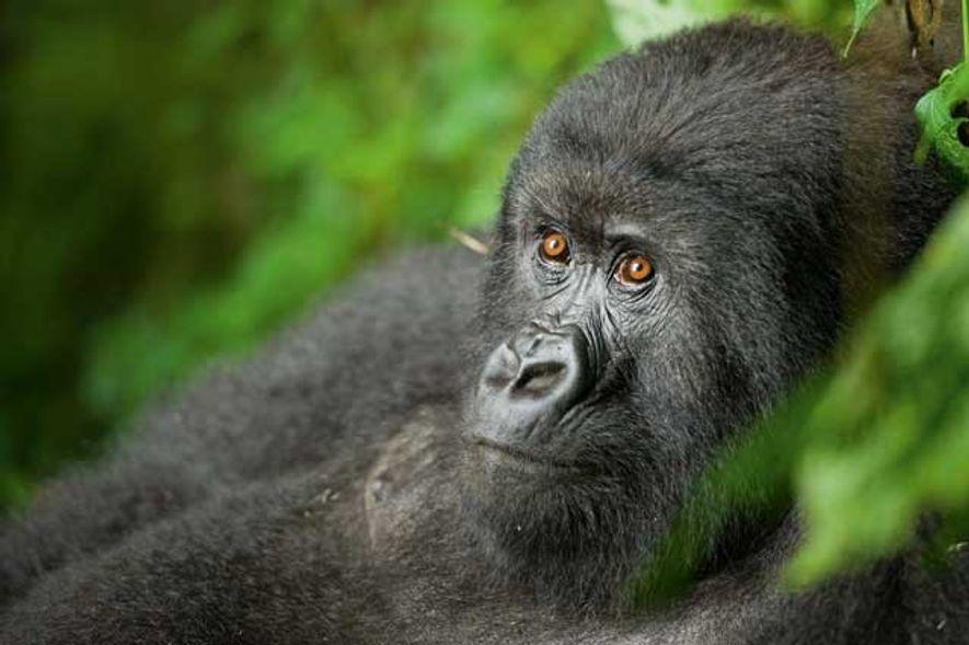 Meeting the mountain gorillas of Rwanda