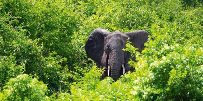 Uganda: Songs for elephants