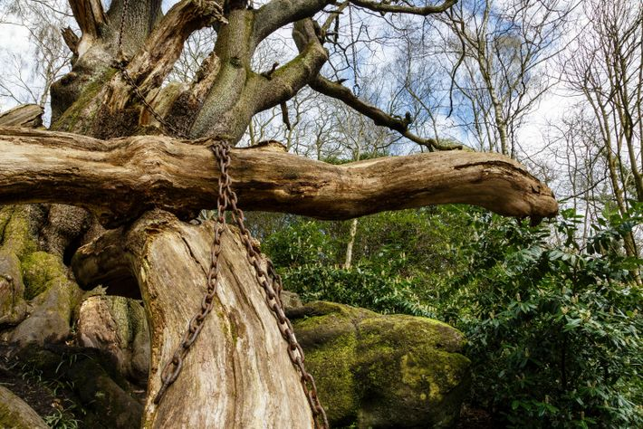 Chained Oak in Staffordshire