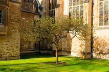 Apple tree at Trinity College Cambridge