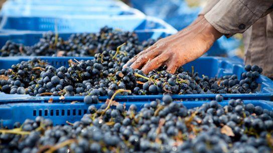 Grape harvest in Argentina